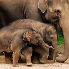 Young Elephants by PeterCannon