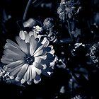 Black and White Gerbera  by IamPhoto