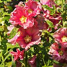 Pink Hollyhocks by vivsworld