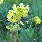 Cowslips in the Morning Dew by vivendulies