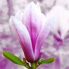 Magnolia blooming in Spring (light) by vivendulies