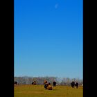 Bison Bison - Morning Moon Over American Bison by © Sophie W. Smith