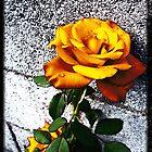 Late Summer Rose - Sunshine by Shawna Rowe