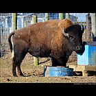 Bison Bison - Young American Bison by © Sophie W. Smith