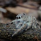 Looking for a snack: Jumping Spider (Salticidae) by DebbyTownsend