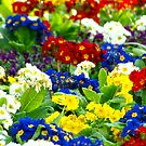 Colorful Primroses by vivendulies