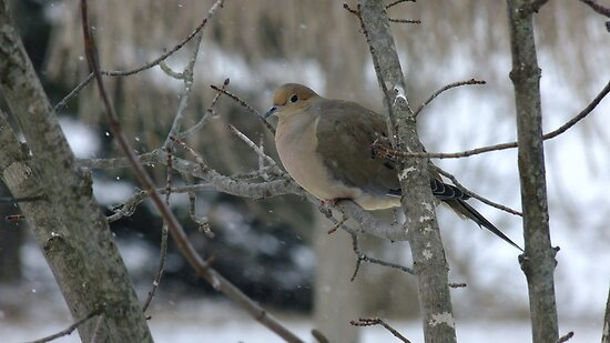 Mourning Dove by Tracy Faught