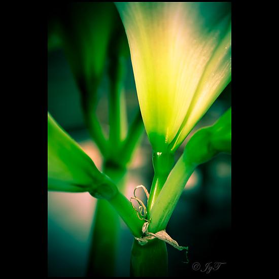 Amaryllis by johnjgt