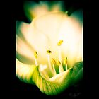 Amaryllis by johnjgt