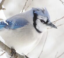 Not Another Blue Jay!!!! by lorilee
