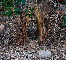 Western Bower Bird - Bower & reason for  territorial dispute - 3 by john  Lenagan