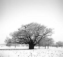 Ancient Oak, Richmond Park, England by Justin Foulkes