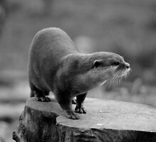 Asian short clawed otter by Ladymoose