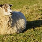 Pregnant Sheep In February 2 by glynk