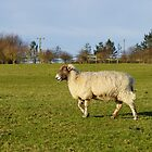 Pregnant Sheep In February 3 by glynk