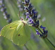 Brimstone by marens
