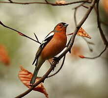 Autumnal Chaffinch by CBoyle