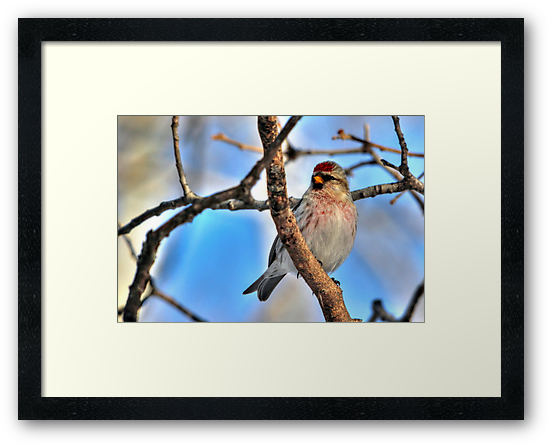 Common Redpoll by Larry Trupp