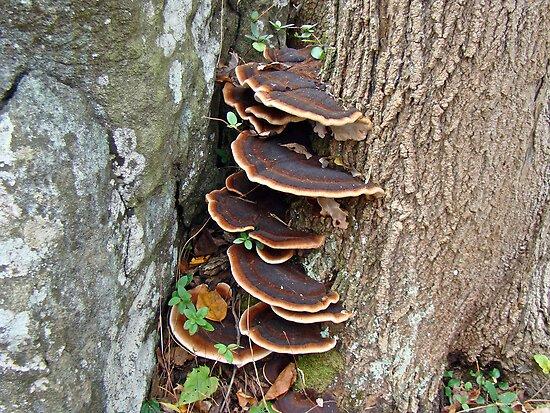 Turkey Tail Bracket Fungus - Basidiomycota by MotherNature2
