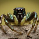 (species ZZ051) Jumping Spider by Kerrod Sulter