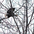Bald Eagle  by mlaprade
