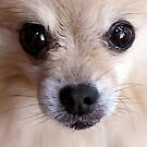 Precious Pomeranian by Tiffany Muff