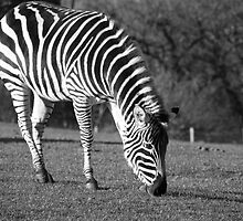 Black and White Zebra by Tim Topping