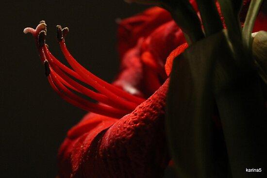 Magic Amaryllis  by karina5