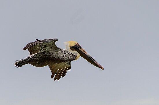 Pelican in Flight by Mark Fendrick
