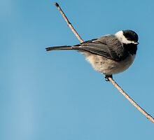 Cold Little Chickadee by barnsis