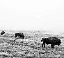 Frosty Bison - Yellowstone National Park by Mark Kiver