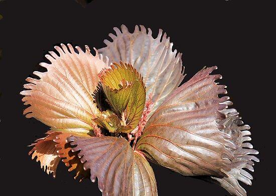Silver Leaf in Bloom by Rosalie Scanlon