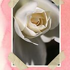 Congratulations - White Rose by Joy Watson