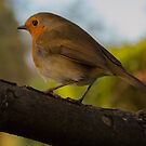 Yorkshire Robin by Phil Tinkler