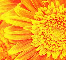 orange yellow gerber daisies by Adam Asar