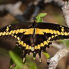 Giant Swallowtail in the Rio Grande River Valley by Robert Kelch, M.D.