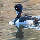 Ring-necked Drake: Preening by John Williams