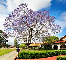 Mount Lawley jacaranda by nadine henley