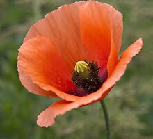Poppy by Great North Views