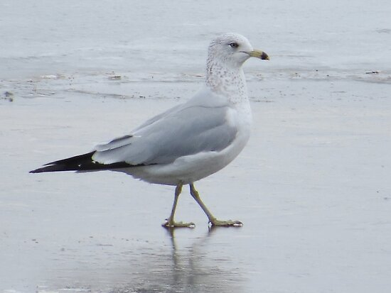 Gull On Ice by lorilee
