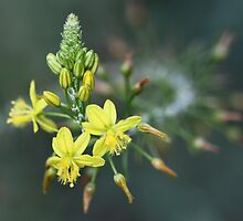 Bulbine Beauty by Rina Greeff