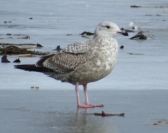 Speckled Gull by lorilee