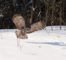 Great Grey Owl in flight - Ottawa, Ontario by Josef Pittner