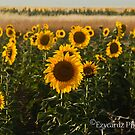 Sunflower Farm by ezycardz