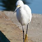 Egret Walking by gerafotografija