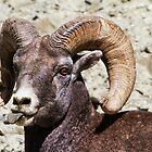 Taunting Bighorn - Montana Ram by Mark Kiver