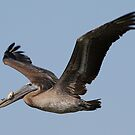 Brown Pelican with fish by Dennis Cheeseman