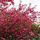Deep Pink Tree Blossoms by BlueMoonRose