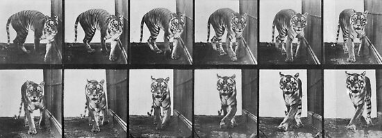 Tiger pacing, from 'Animal Locomotion', 1887 by Bridgeman Art Library