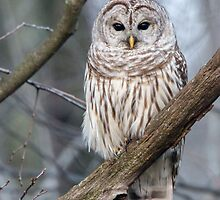 Barred Owl by Benjamin Young